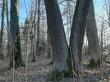 Jõgeva mõisa park. Foto: Raili Uustalu 02.03.2021. Võimsad pärnapuud pargi keskosa läänepoolses osas (kujundusvõte kaks puud koos).