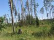 Vaade kääbastele maaomanik Ilmar Pungitsa metsas pärast raiet. Kääbastel ei ole kohaldatud lageraiet. Foto: Viktor Lõhmus, 05.07.2010.