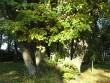 parkmetsa põlispuud foto Riina Pau 24.09.2008