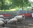 Vaade kivile üle lammaste. Foto: Armin Rudi, 30.06.2011.