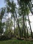 pärast tormi murdunud puud foto 16. augustil 2010 Palupera kooli arhiiv