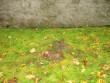 Kaevamisjäljed Karuse kiriku põhjaseina ääres. Kalli Pets 03.10.2011