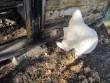 15925 Kaarli talu puukuur, avarii-remont-restaureerimistööd 18.10.2011. Anne Kaldam