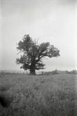 Tamme-Koori tamm Foto: V.Ranniku 1964