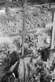 Sepisristid Viljandi kalmistul. Foto: V. Ranniku 1971